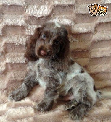 Show Type Kc Cocker Spaniel Puppies Ready Now Bourne Lincolnshire Pets4homes Englishcoc Cocker Spaniel Puppies Spaniel Puppies Springer Spaniel Puppies