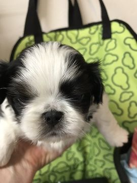 Litter Of 7 Japanese Chin Puppies For Sale In Salem Or Adn 63565