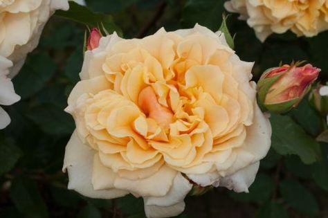 Rosa Caramella®