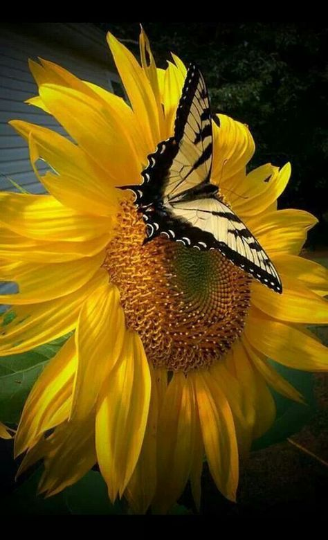 Yellow Butterfly on a Sunflower