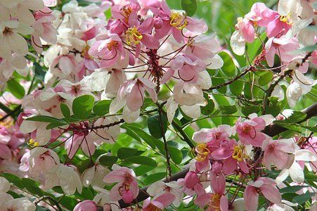 14 best images about seeds im planting on pinterest trees africa cassia javanica or pink shower tree is a large deciduous tree grows 30 40 feet mightylinksfo