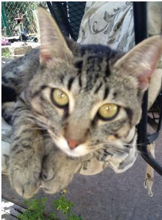 This Found Cat Recently Had Surgery That Sounds Familiar Http Oklahomacity Craigslist Org Laf 3798662584 Html Found Cat White Cats Tabby