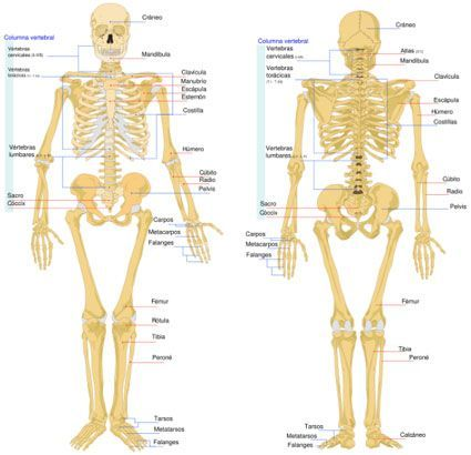 Esqueleto Humano Y Sus Partes Buscar Con Google Huesos Del Cuerpo Huesos Del Cuerpo Humano Esqueleto Humano