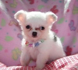 Outstanding Chihuahua Puppies Fayetteville Nc Asnclassifieds