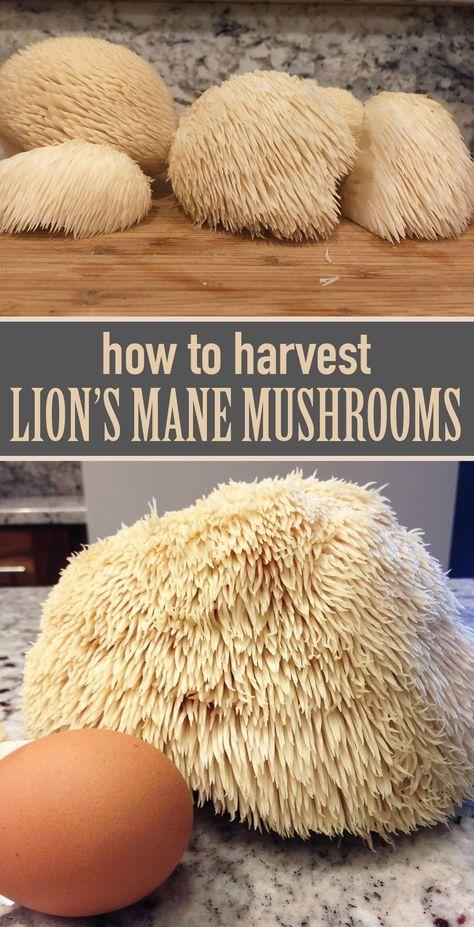 the Wild Lion's Mane Mushroom How to harvest, clean, and prepare lion's mane mushrooms.How to harvest, clean, and prepare lion's mane mushrooms. Edible Wild Mushrooms, Growing Mushrooms, Stuffed Mushrooms, How To Grow Mushrooms, Mushroom Spores, Mushroom Cultivation, Thing 1, Mushroom Hunting, Lion Mane