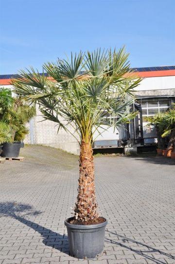 Caranday Palme Mediterrane Pflanzen Palmen