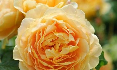 Roses To Grow In Your Garden Shrub Roses Rose Varieties Fragrant Roses