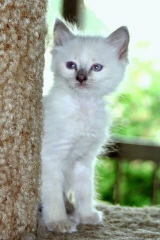 Our Dear Friend Kathy Of Kathy S Country Siamese And Balinese Has One Lilac Male Available Now Siamese Kittens Siamese Cats Kittens