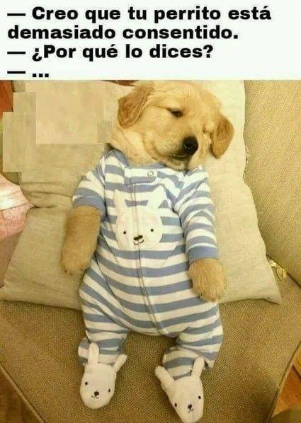 Photo Humor Memes Funny Divertido Pijamas Para Perros Perros Y Cachorros Lindos Perros Golden Bebes