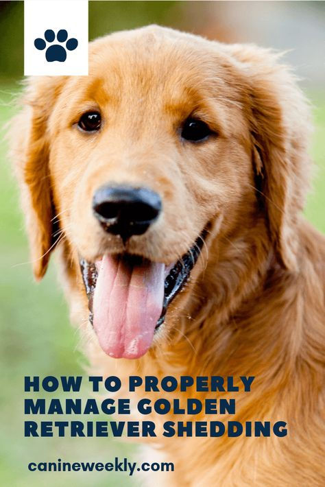 7 Ways To Manage Golden Retriever Shedding Group Of Dogs Dog