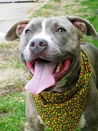Pin On Pitbull Terrier Dogs