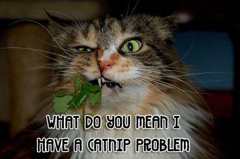 17f6afb283f720792cbd34da57568761 dental humor dental hygiene i don't have a catnip problem herb humor pinterest cat