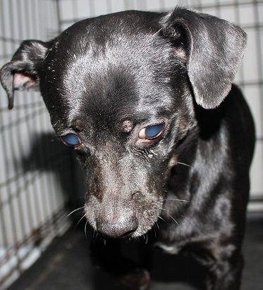 Adopt Pancho On Miniature Pinscher Dogs Savannah Chat