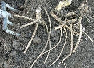 Meerrettich Kren Im Garten Anbauen Und Konservierungs Tipps Meerrettich Pflanzen Rettich Krautergarten Anlegen