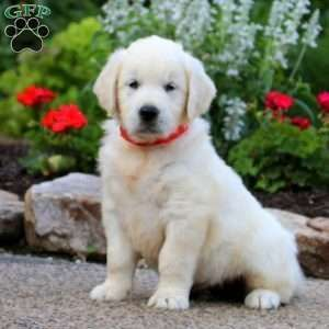 Beauty English Cream Golden Retriever Puppy For Sale In