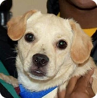 Fairfax Va Labrador Retriever Pug Mix Meet Lilly A Puppy For