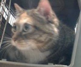 Saboomba Adoptable Cat Adult Female Torbie Cat Adoption Pet Adoption Cats And Kittens