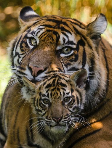 One of Chester Zoo's young Sumatran Tiger cubs, safe in the proximity of it's Mother. Cute Baby Animals, Animals And Pets, Funny Animals, Wild Animals, Big Cats, Cats And Kittens, Cute Cats, Siamese Cats, Beautiful Cats
