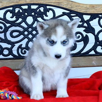 Siberian Husky Puppy For Sale In Gap Pa Adn 65749 On Puppyfinder