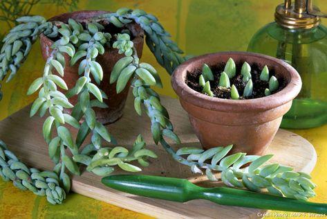 Sedum Morganianum Suckulenter Vaxter Krukvaxter