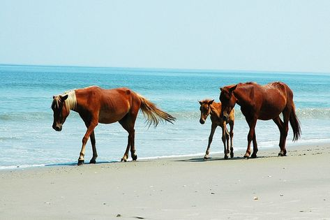 The Wild Horses Of Outer Banks In