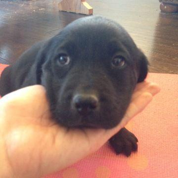 Litter Of 5 Labrador Retriever Puppies For Sale In Buckeye Az Adn 63389 On Puppy Labrador Retriever Black Labrador Puppy Labrador Retriever Puppies