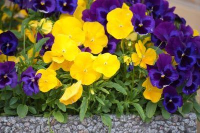 Pansy Bloom Time When Is Pansy Flowering Season Pansies Flowers Blooming Plants Pansies
