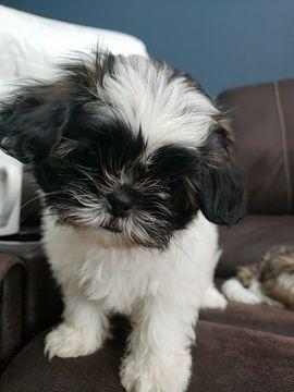 Shih Tzu Puppy For Sale In Pompano Beach Fl Adn 63429 On