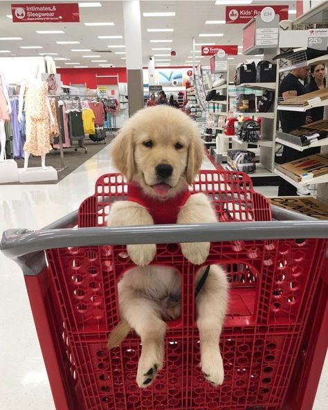 Crusin' Target for some bargains @benjisgoldenlife #gloriousgoldens #puppy #goldenretriever #dogsofinstagram #dog #pupsofinstagram #adorable #buzzfeedanimals #nugget #target #tumblr #shopping