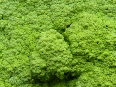 http://faaxaal.forumactif.com/t5371-photo-de-lichen-diploschiste-rocailleux-diploschistes-scruposus-rocky-crater-lichen-lichen-crustace-saxicole