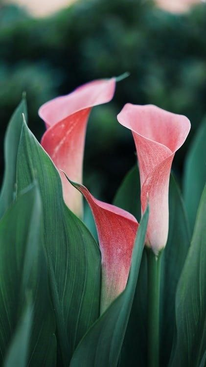 Pink Calla Lily Flowers Meaning And Facts Beautifulflowersroses Flowers Photography Beautiful Pink Calla Lilies Calla Lily Flowers