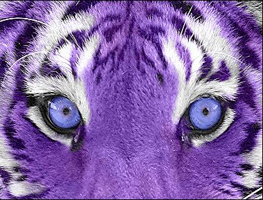 Awesome purple tiger