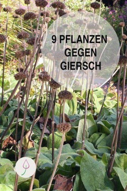 Schnellwachsende Pflanzen Um Giersch Zu Bek Mpfen Diese Neun Bodendecker Machen Dem Unkraut Im Garte Unkraut Im Garten Giersch Bekampfen Wachsenden Pflanzen