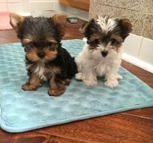 Yorkie Puppies For Sale Yorkie Pups Of Texas Yorkie Puppy For Sale Yorkie Puppy Care Teacup Yorkie Puppy