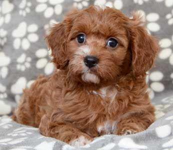 Cavapoo Puppies By Design Online Cavapoo Puppies Best Pet Dogs Your Dog