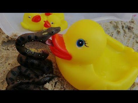 قصة البطة والثعبان البطة تحمي أطفالها من الثعبان قصص اطفال حكايات عرائس العاب Youtube Duck Rubber Duck Toys