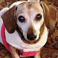 Available Pets At Dream Dachshund Rescue Education Adoption