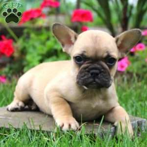 Giselle French Bulldog Puppy For Sale In Pennsylvania Cute