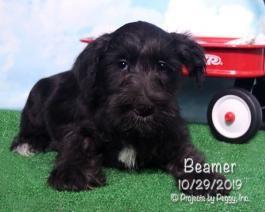 Miniature Schnauzer Puppies For Sale Lancaster Puppies Miniature Schnauzer Puppies Puppies For Sale Schnauzer Puppy