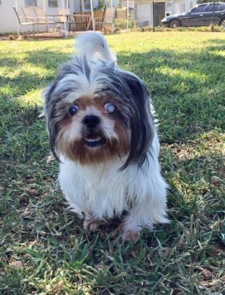 Baylor Shih Tzu Dog For Adoption In Fort Lauderdale Florida