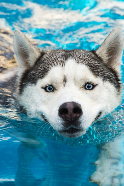 Dog Swims In The Pool In The Summer Siberian Husky
