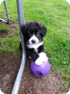 Columbus Oh Husky Border Collie Mix Meet Daryl A Puppy For