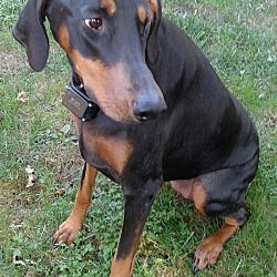 Panama City Fl Doberman Pinscher Meet Jemma A Pet For Adoption Doberman Pinscher Pet Adoption Doberman