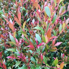 Hedge/Screen   Advanced Trees   Wholesale Nursery - TGA