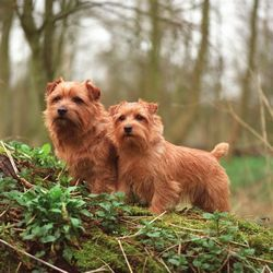 Fully Grown Norfolk S Norfolk Terrier Norwich Terrier Terrier