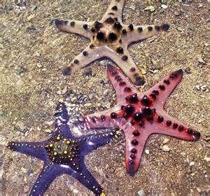 Image Result For Chocolate Chip Starfish Chocolate Chip Starfish Starfish Facts Starfish