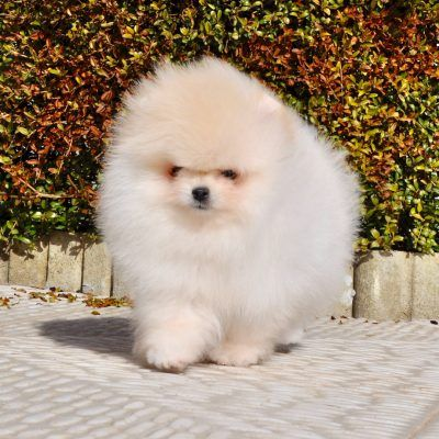 Find The Best Mini Pomsky Puppies For Sale For Your Home In 2020 Pomsky Puppies Puppies Puppies For Sale