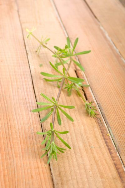 Goosegrass Herb Information How To Goosegrass Herb Plants A Versatile Herb With A Host Of Medicinal Uses Goosegrass Is Most Famou Planting Herbs Herbs Plants