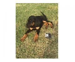 Doberman Puppies For Sale Hudiara Lahore Punjab For Sale Call Us