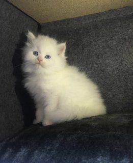 قط هاف بيكي دبي 105996 Cats Animals